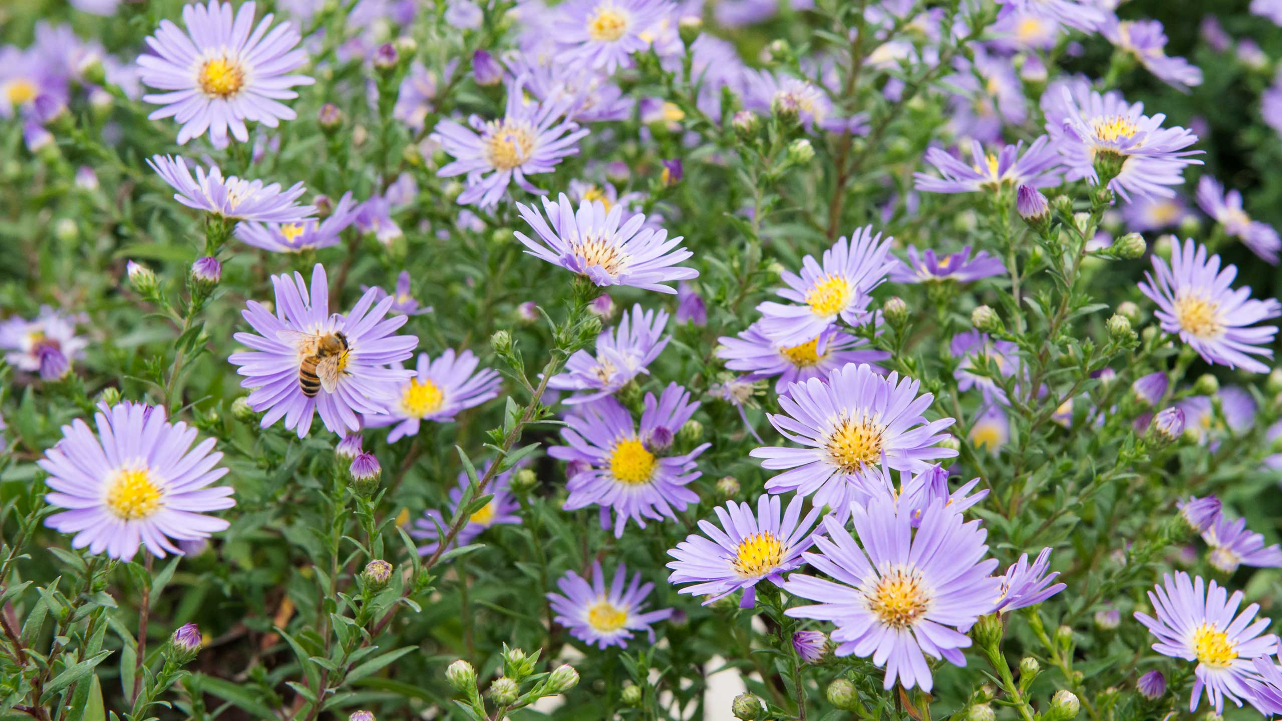 Perennial asters mulhall 39 s for Perennial wood
