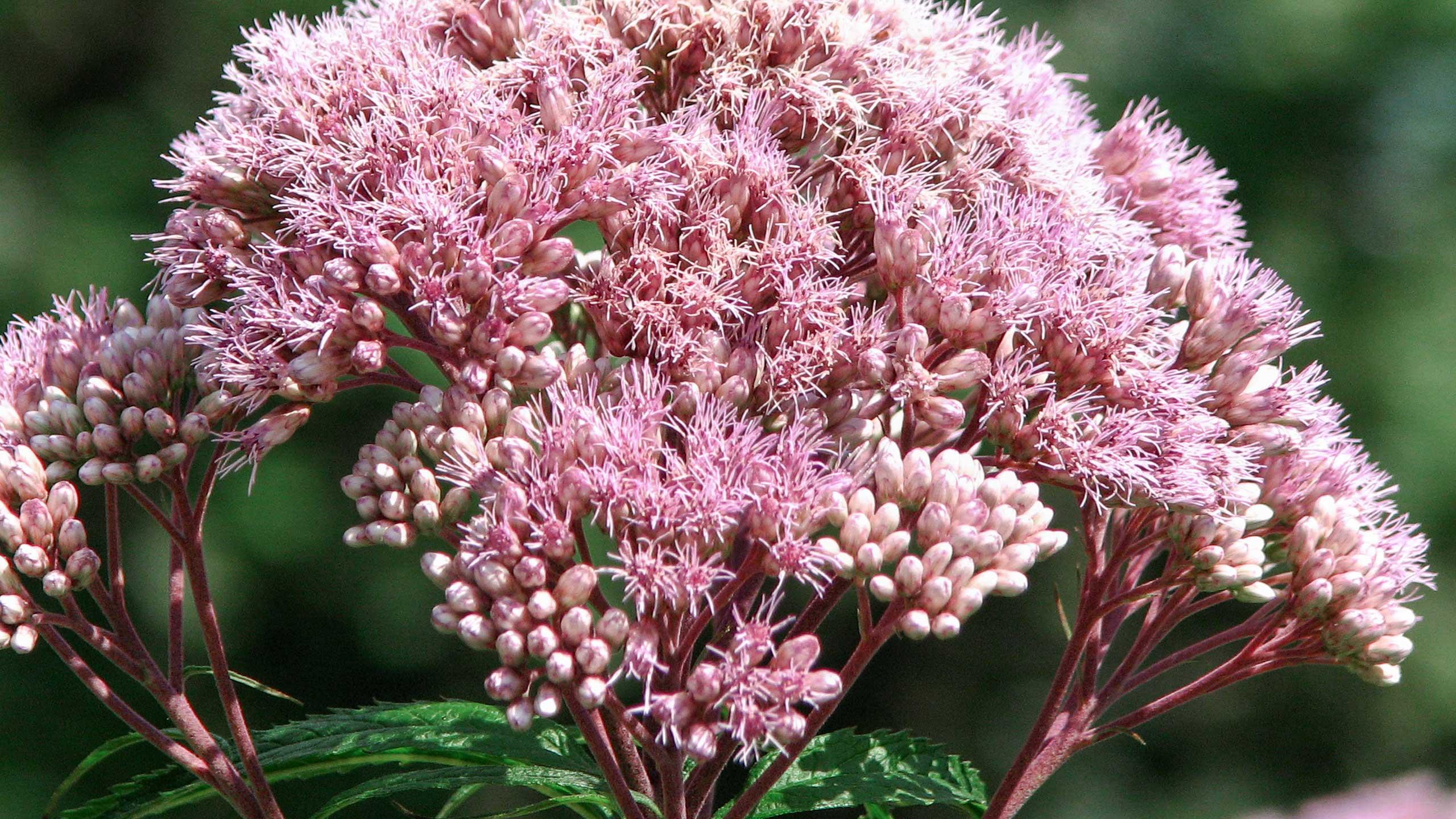 Joe pye weed mulhalls joe pye weed is a native flowering plant in the genus eupatorium or eutrochium depending on the source as a native to our region joe pye weed is mightylinksfo