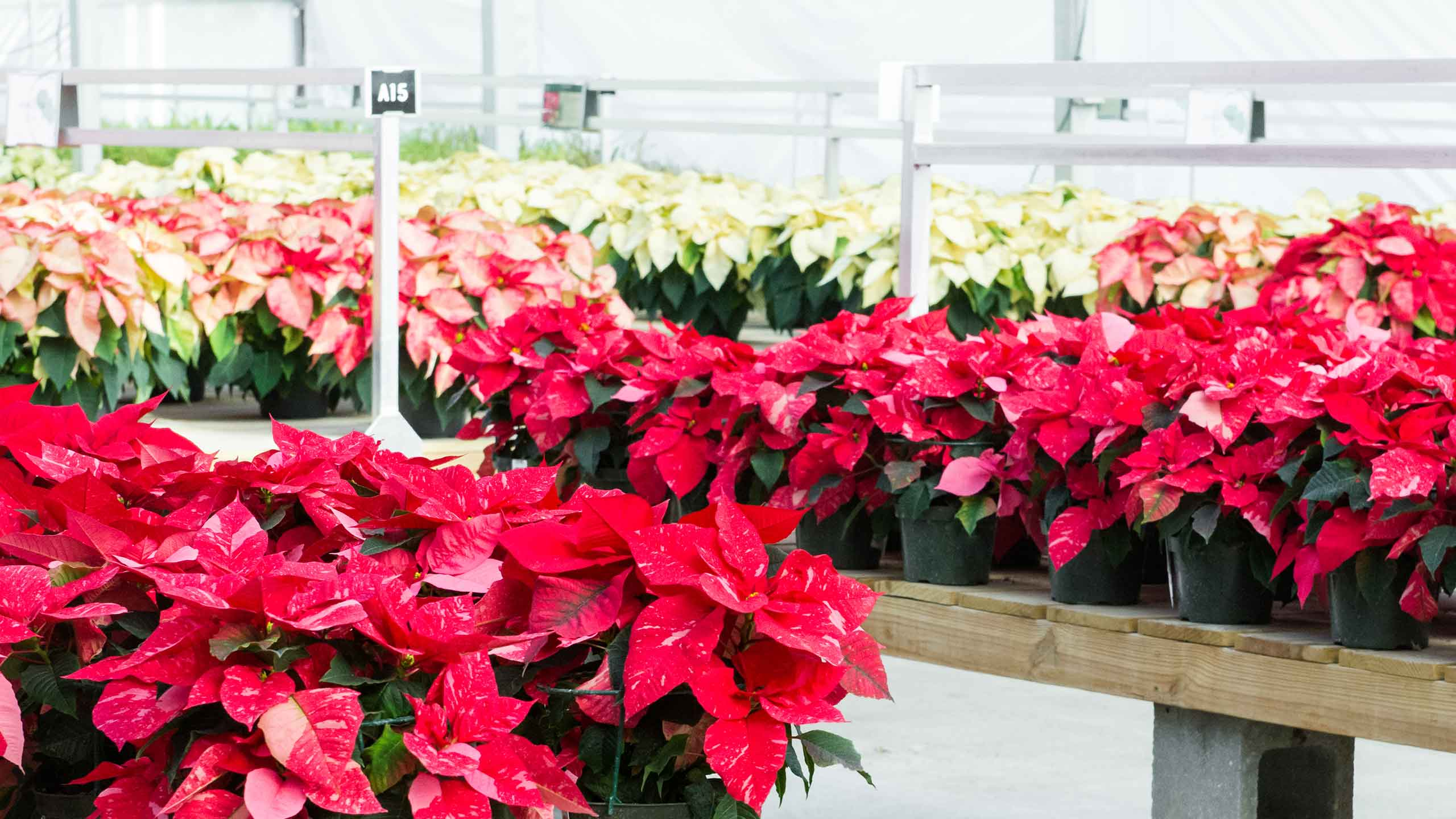 Poinsettias And Their Unexpected Relatives Mulhall S
