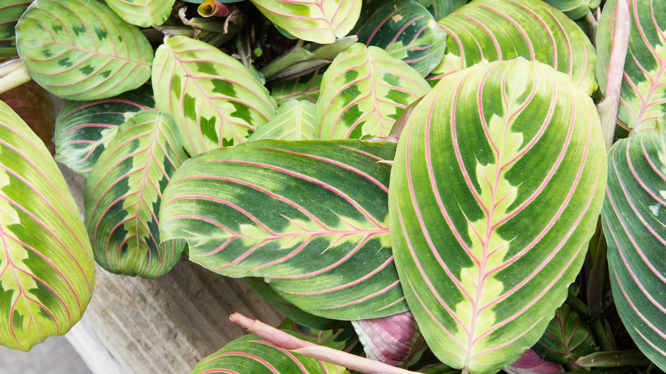 Bold Patterns from the zilian Tropics : Mulhall's on twisted leaf house plants, vine leaf house plants, spotted leaf house plants, red leaf house plants, long leaf house plants, green leaf house plants, purple leaf house plants, tropical green plants, big leaf plants, small leaf house plants, striped leaf house plants,