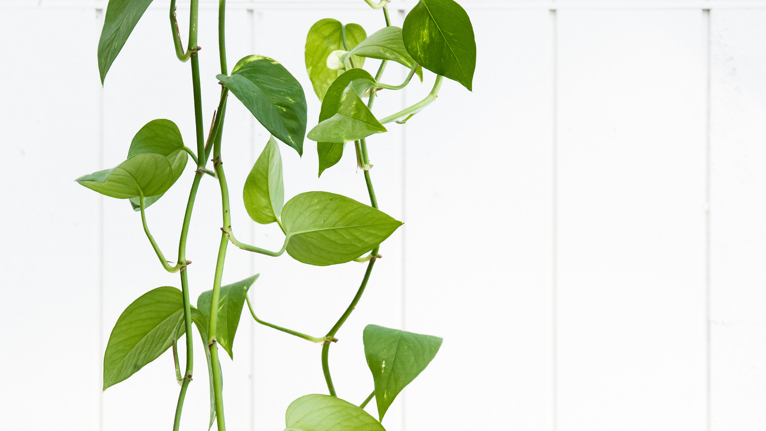 5 Indoor Plants You Can Get and (Almost) Forget : Mulhall's on colorful house plants, unusual house plants, green house plants, indoor plants, caring for house plants, fruit non edible plants, water house plants, rare house plants, minnesota house plants, climbing house plants, trailing house plants, dumb cane house plants, potted house plants, viney house plants, tropical house plants, best house plants, watering house plants, japanese house plants, small house plants, tall house plants,