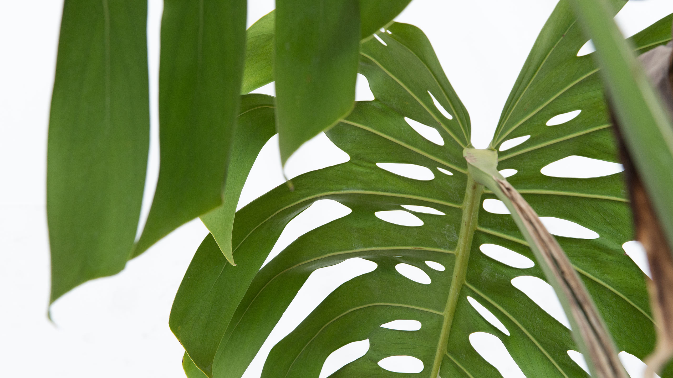 A Closer Look At Monstera Deliciosa Mulhall S
