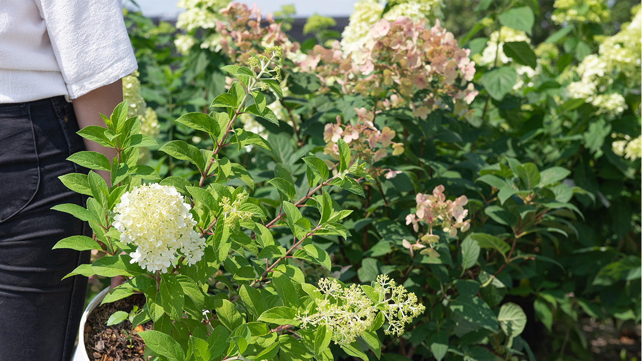 4 Reasons To Fall For Panicle Hydrangeas Mulhall S