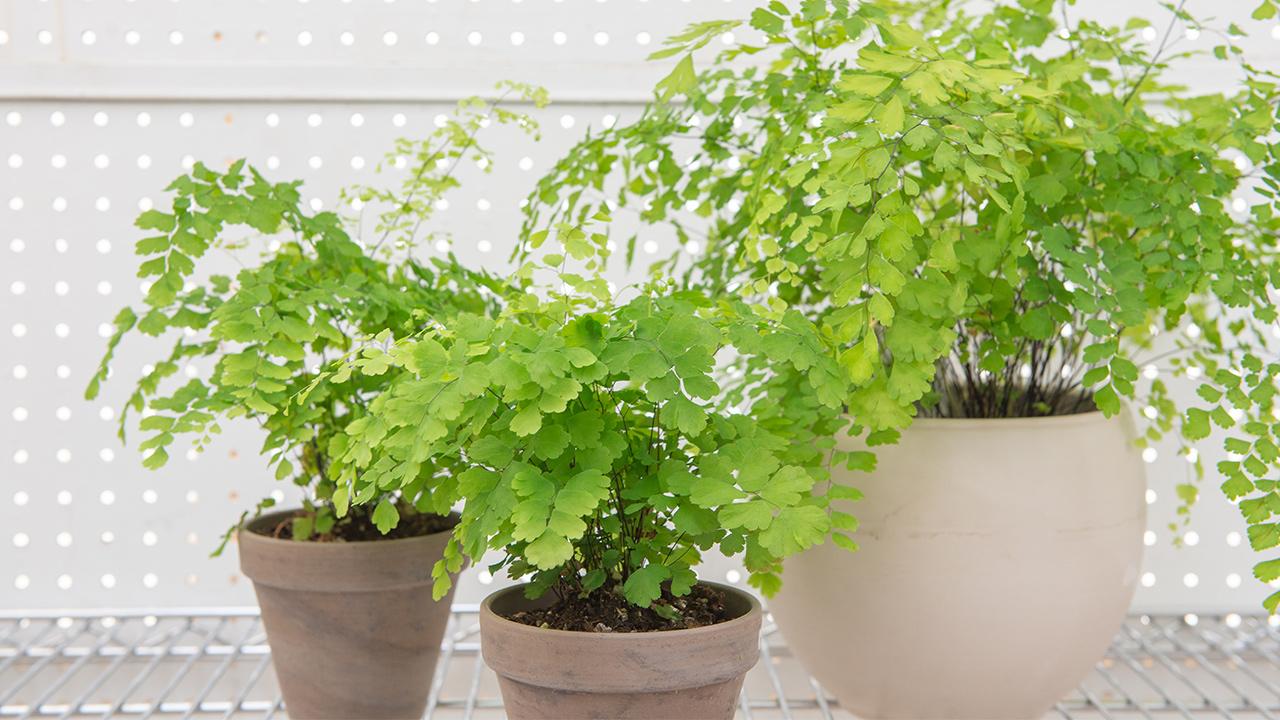 MaidenhairFern Post 1 - 5 Rekomendasi Tanaman Hias untuk Anda yang Baru Belajar Berkebun