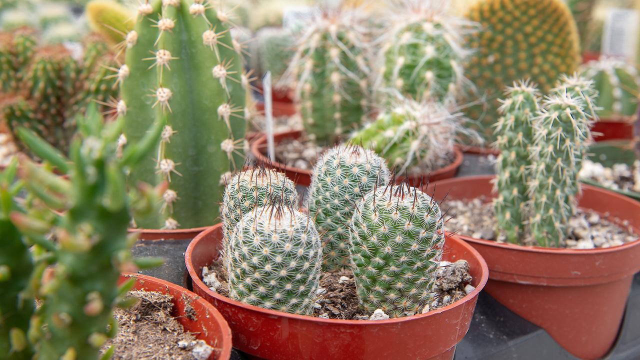 The World Of Strange Cacti Mulhall S