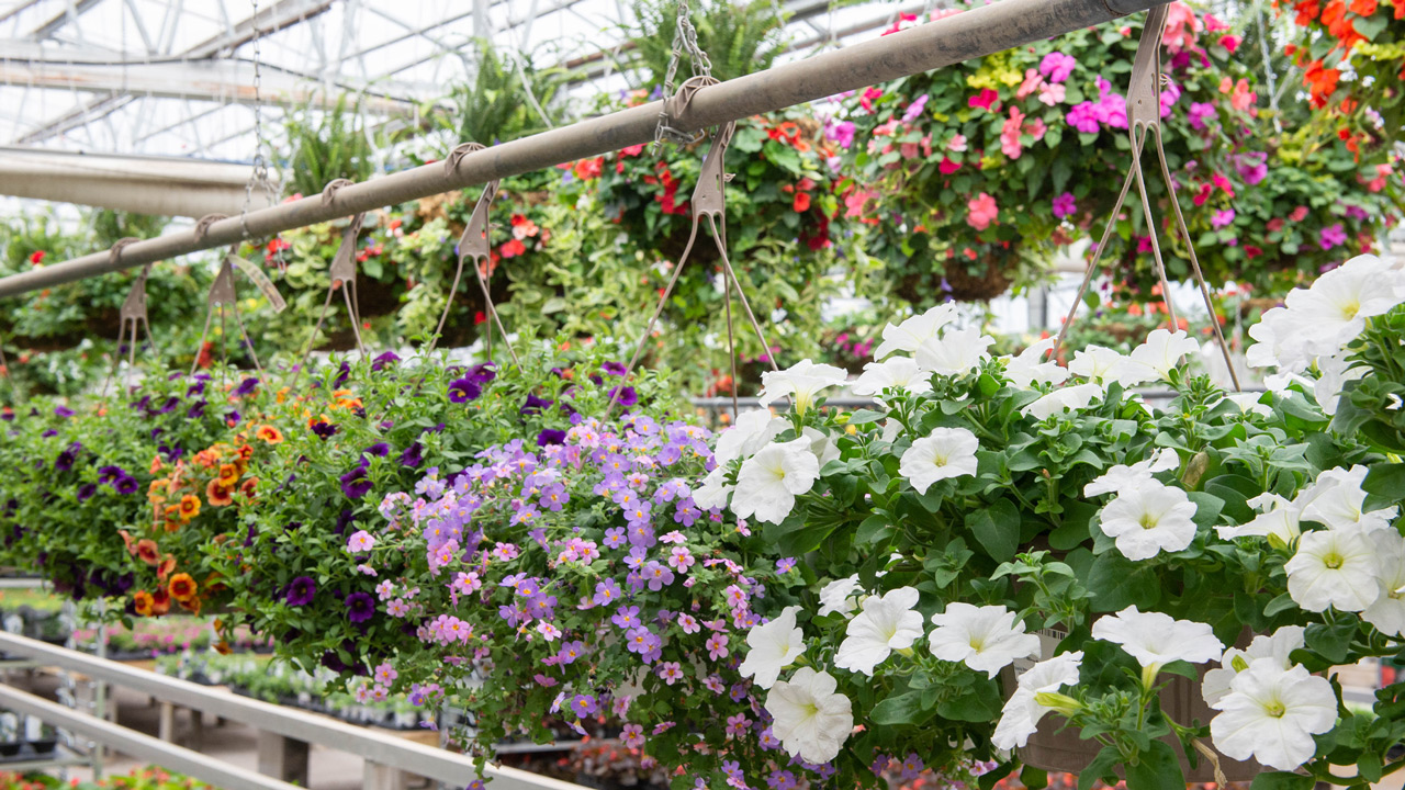 A Passion For Hanging Baskets Mulhall S