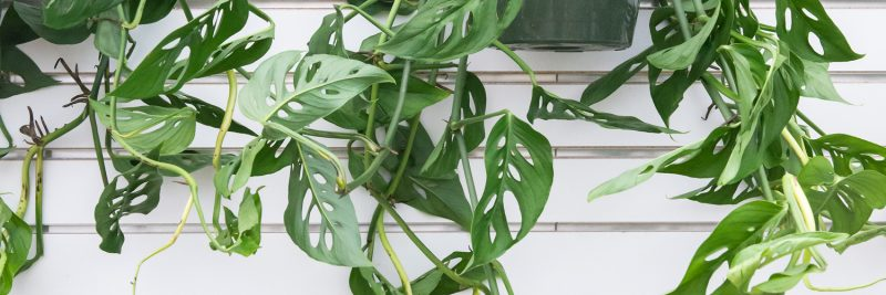 That Other Amazing Monstera Mulhall S