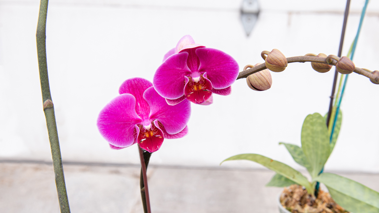 5 Stunning Orchids You Can Grow Mulhall S
